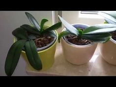 Co robić aby storczyk zakwitł - YouTube Orchid Care, Animals And Pets, Planter Pots, Flowers, Gardens, Youtube, Decor, Pets, Decoration