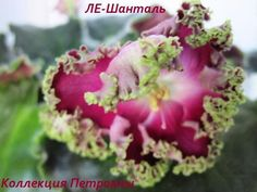 African Violet (saintpaulia) plant LE-SHANTAL - amazing!
