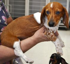 Sapphire the doxie has a forever family!