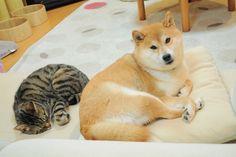 "Shiba Inu Kabosu, the original ""Doge"" with her beloved family member"