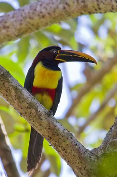 The Chestnut-eared Aracari is a medium-sized toucan of the Amazon Basin of South America. http://www.galapagosexpeditions.com/tours/ecuador-amazon-rainforest-tours.php