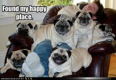 The pugs have asserted their dominance as alphas of the pack of puny humans
