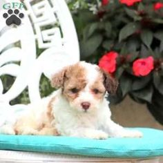 Bich-poo Puppy in Paradise, PA Free Crochet Rose Pattern, Greenfield Puppies, Bichon Frise, Puppies For Sale, Poodle, Paradise, Dogs, Animals, Animales