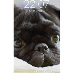 このお気に入りのpic スマホのロック画面にしました❤️. #どーでもええわ!笑 #😂 #失礼しました . #2枚目は旦那のロック画面 #加工の聖ちゃん😂 #frenchbulldog #frenchbulldogpugmix #pug#フレブルとパグミックス #フレパグ#ミックス犬#フレンチブルドッグ #フレブル #パグ#ぶちょーと聖子#chihuahua #チワワ #いぬ #dog #ブヒ #鼻ぺちゃ#犬 #犬バカ部#黒パグ#愛犬 #わんこ