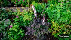 Høstormedrue – flott nykommer i Spirea-hagen • Spirea.no