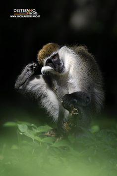 https://flic.kr/p/25JFscZ | Grivet monkey | Chlorocebus aethiops, Cercopiteco grigioverde - Grivet monkey  Ethiopia
