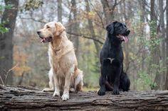 Anzeige   Diese beiden Lauser sind so unterschiedlich und doch haben sie so viel gemeinsam - zum Beispiel wurden beide adoptiert ❤️ .… Beide, Labs, Instagram Feed, Animals, Photo Shoot, Ideas, Animales, Animaux, Animal