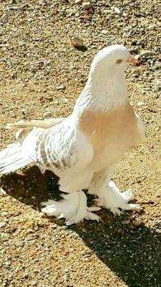 Cute Pigeon, Pigeon Bird, Pigeon Pictures, Animal Pictures, Beautiful Swan, Beautiful Birds, Tumbler Pigeons, Weird Birds, Pigeon Breeds