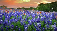 Texas Photograph - Springtime Sunset In Texas - Texas Bluebonnet Wildflowers Landscape Flowers Paintbrush by Jon Holiday