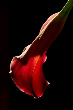 500px / Calla lily by Robert D. MacNevin
