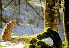 De lynx. Wat zijn ze mooi. #photography #travelphotography #traveller #canon #canonnederland #canon_photos #fotocursus #fotoreis #travelblog #reizen #reisjournalist #travelwriter#fotoworkshop  #reisfotografie #landschapsfotografie #follow #instalaros #wlfoto.blogspot.nl #fb  #natuur #nature #bayerischewald #duitsland #germany