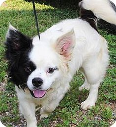 boston terrier pomeranian mix boston terrier pomeranian mix boston terrier mixed 9607