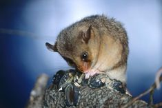 The bold and controversial plan to save the mountain pygmy possum from extinction - ABC News Long Winter, Winter Snow, Great Barrier Reef, Fossils, Mammals, Habitats, Mountain, Extinct, Inktober