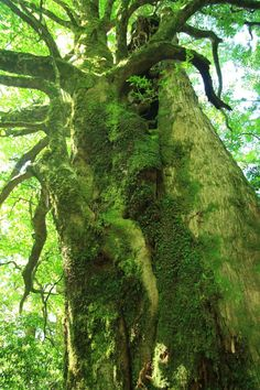 "- JAPAN Let's shoot trees of over years old! Yakushima ""One-day Jomon Sugi Course"" Tree Arborist, Yakushima, Land Of The Lost, Twisted Tree, Deep Forest, Big Tree, Growing Tree, Nature Pictures, Amazing Nature"