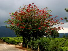 Erythrina variegata (Indian Coral Tree) is a thorny, deciduous tree up to 90 feet m) tall. Orchidaceae, Deciduous Trees, Garden Trees, Tropical Plants, Shrubs, Perennials, Wild Flowers, Planting Flowers, Succulents