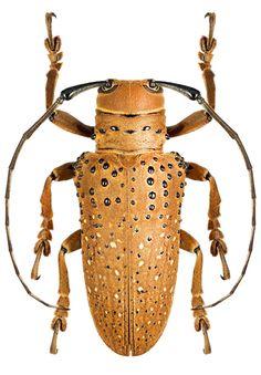 Oncideres philosipes – CERAMBYCIDAE Subfamily Lamiinae