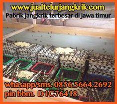 adsense 336x280 Cirebon, Palembang, Bogor, Semarang, Telur, Granddaughters