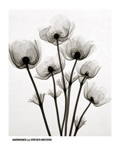 Anemones x-ray - Steven Meyers <3