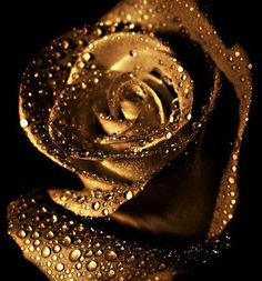 Amazing gold rose with water drops