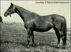 Now this is a photo of a mare that you don't see too often, Man o' War's dam, Mahubah.  It is said that he got his good personality from her, as his sire, Fair Play, was a difficult one.