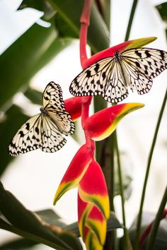 Paper Kite butterflies on Heliconia • by Nadine E.