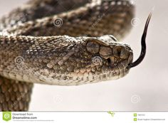 Western Diamondback Rattlesnake Closeup Stock Photography - Image ...
