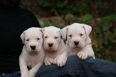 Burning Heads Elevage familial de dogue argentin situé en Bretagne,chiots LOF,etalons disponibles p