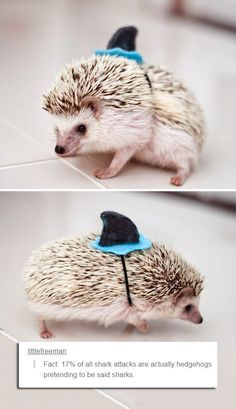 17% of all shark attacks are actually hedgehogs pretending to be sharks. via Little Freeman