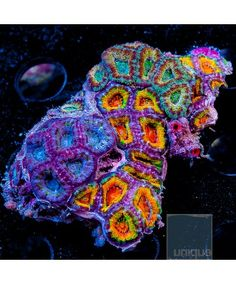 Acanthastrea lordhowensis - Tricolor ""