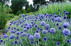 Globe Thistle 'Veitch's Blue' (Echinops Ritro) - Zone 3-9 Full Sun. Average to sandy soil. Clump forming perennial. 3'-4' Height 2' Spread. Coarse spiny leaves and iridescent blue globe shaped flowers. Drought tolerant. Attracts bees, butterflies & hummingbirds. Deer resistant. Easy to grow. Excellent cut and dried flower! Propagate by seeds.