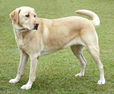 Learn some basic knowledge on housebreaking and potty training your Labrador Retriever. Tips like potty training, house breaking and how to home train your Labrador Retriever while it is a puppy. Top 10 Dog Breeds, Cute Dogs Breeds, Best Dog Breeds, Best Dogs, Non Shedding Dog Breeds, Labrador Retrievers, Retriever Puppies, Pet Sitter, Smartest Dogs