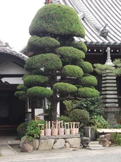 Beautiful Cloud Tree outside Shrine in Takatsuki, Oaska