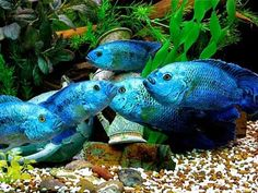 Fabulously fishy Cichlids!!! on Pinterest   Aquarium Fish ...