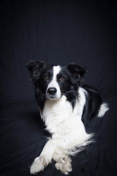 Floyd the Border Collie from Wigan, UK  Order an oil painting of your pet today at petsinportrait.com