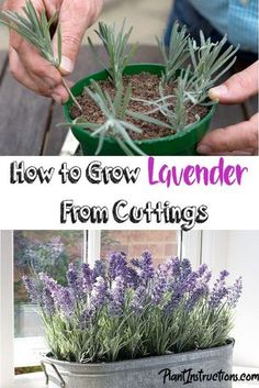 The lavender plant is one of the most beautiful and scented plants you can grow, and today we'll teach how to you can actually grow lavender from cuttings! Diy Gardening, Gardening For Beginners, Container Gardening, Succulents Garden, Planting Flowers, Garden Plants, Garden Shade, Design Jardin, Garden Design