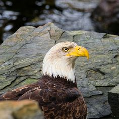 in between the rocks-head and shoulder shot of bald eagle looking around-focused look - Evan Spellman Photo Bald Eagles, The Rock, River, Rocks, Beach, The Beach, Beaches, Stone, Batu