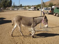 Annie! The Rancho Santiago Obstacle Course mascot goes for a stroll.
