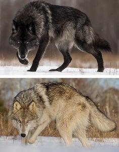 New post on tempetes - Wolf - Wolf Spirit, Spirit Animal, Beautiful Wolves, Animals Beautiful, Romulus Et Remus, Wolf Poses, Wolf Husky, Timberwolf, Wolf Wallpaper