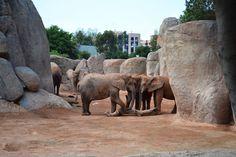 Elefantes en Bioparc, Valencia