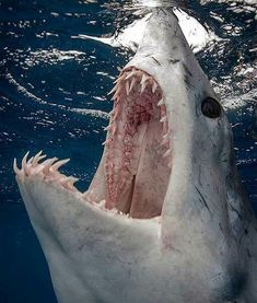 Mako shark. One of the fastest sharks in the ocean and known for their high jumping skills. These fish fly ;)