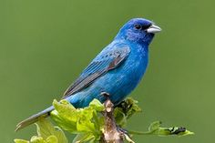 Indigo Bunting 10 Most Beautiful Species of Tennessee Birds | Smoky Mountain Travel Guide