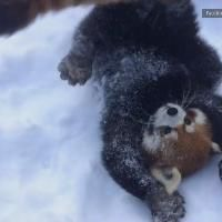 Two red pandas play in the snow at the Cincinnati Zoo and Botanical Garden in this raw video.
