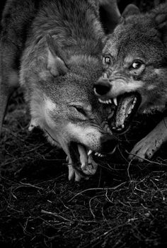 """Wolf is the Grand Teacher. Wolf is the sage, who after many winters upon the sacred path and seeking the ways of wisdom, returns to share new knowledge with the tribe... When the Wolf walks by you, you will remember."""" ~Robert Ghost Wolf..."""