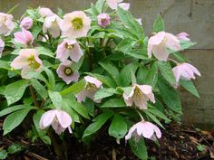 "Hellebore ^ Lenten Rose ""Flowers"" (really specialized leaves) should hang on for a month or so."