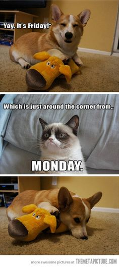 Grumpy cat ruins your Friday… HAHA! this was my attitude today. Right, Spring-loving friends? Grumpy Cat Quotes, Grumpy Cat Humor, Cat Memes, Funny Memes, Grumpy Kitty, Grump Cat, Humour, El Humor, Funny Animal Pictures