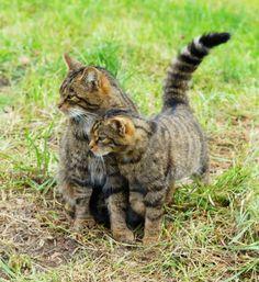 Ces photos de félins sont sublimes... Mais figurez-vous que bientôt ces animaux risquent de ne plus exister ! Le tigre des Highlands : ils sont à présent moins de 400 membres dans le monde entier...