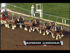 CBY Budweiser Clydesdales 8-30-13. This is an interesting video explaining how each pair of horses are driven, what the positions mean etc. They do a figure 8.