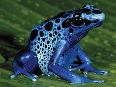 Our animal of the week is...the Blue Poison Dart Frog! Did you know blue poison dart frogs generally live about 10–15 years? At the Aquarium, we had one live to be 23! #AnimaloftheWeek