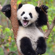 A Panda cub at birth weighs 3 to 5 ounces and is about the size of a stick of butter! Pink hairless and blind the cub is the si… Did you know? A Panda cub at birth weighs 3 to 5 ounces and is about the size of a stick of … Cute Baby Animals, Animals And Pets, Funny Animals, Wild Animals, Panda Mignon, Panda Lindo, Niedlicher Panda, Happy Panda, Panda Funny