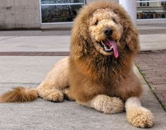Dog or lion? Labradoodle Charles the Monarch looks like the king of the jungle. Some people who see him out for a walk have called police to report an escaped lion.